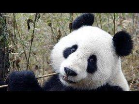 panda eating.jpg