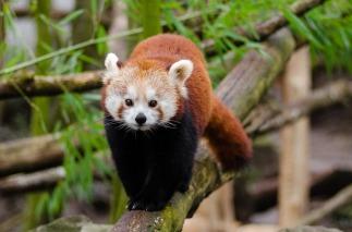 red-panda-1182069_960_720.jpg