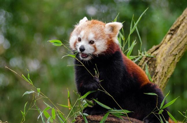 red-panda-1182079_960_720.jpg