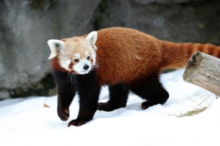 red-panda-597615_960_720.jpg